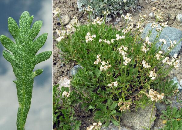 Achillea erba-rotta All. subsp. ambigua (Heimerl) I.B.K.Richardson