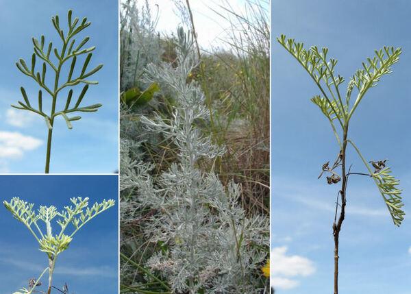 Artemisia maritima L.