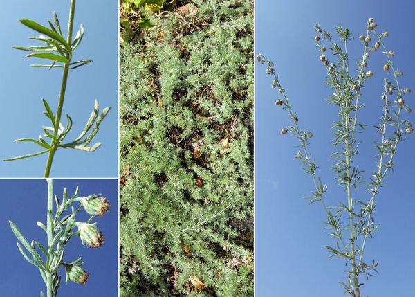 Artemisia frigida Willd.