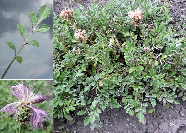 Centaurea alba L. subsp. tomentosa