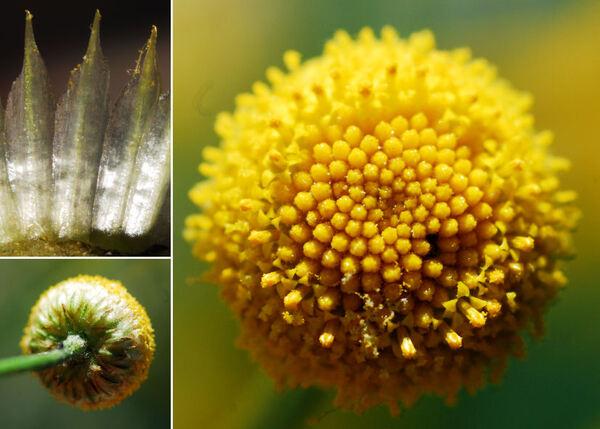 Cota triumfetti (L.) J. Gay subsp. briquetii (Fiori) Brullo, Gangale & Uzunov
