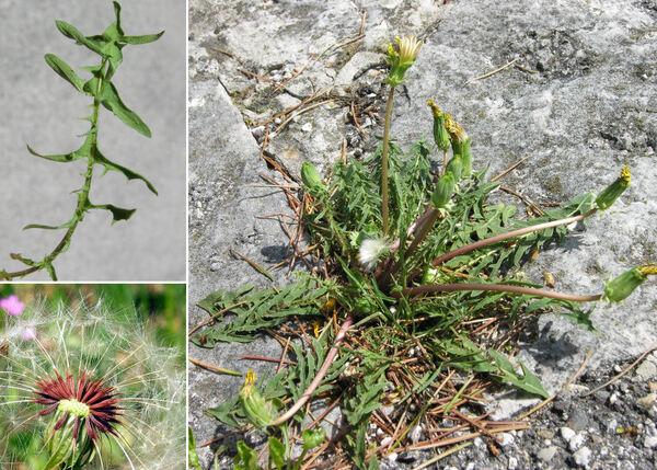 Taraxacum laevigatum (Willd.) DC.