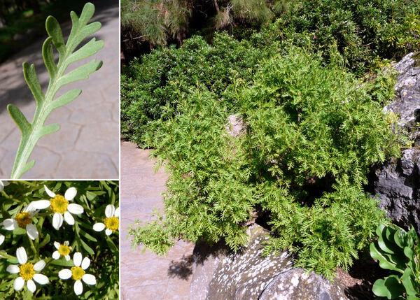 Tanacetum ferulaceum Webb var. latipinnum Svent.