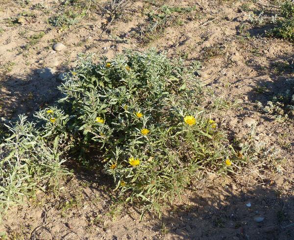 Pallenis spinosa (L.) Cass. subsp. marocccana (Aurich & Podlech) Greuter