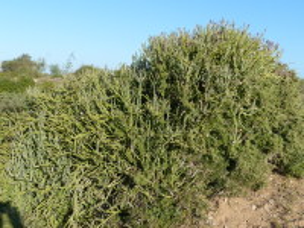 Kleinia anteuphorbium (L.) Haw.
