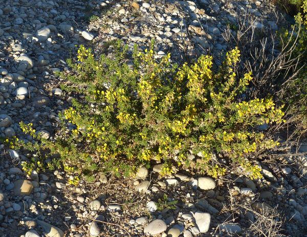 Ononis natrix L. subsp. arganietorum (Maire) Sirj.