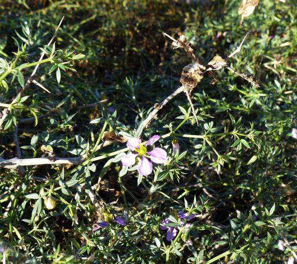 Fagonia cretica L.