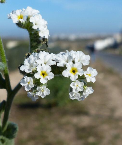 Heliotropium gr. bacciferum