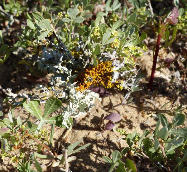 Searsia albida (Schousb.) Moffett