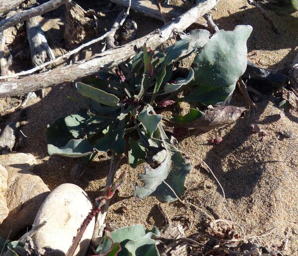 Limonium mucronatum L.