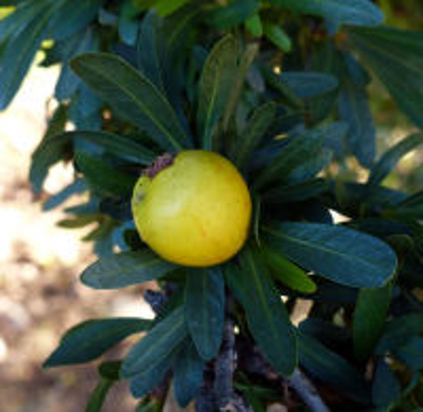 Argania spinosa (L.) Skeels