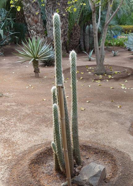 Oreocereus fossulatus (Labour.) Backeb.