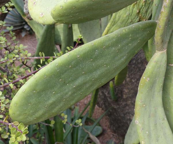Opuntia tomentosa Salm-Dyck