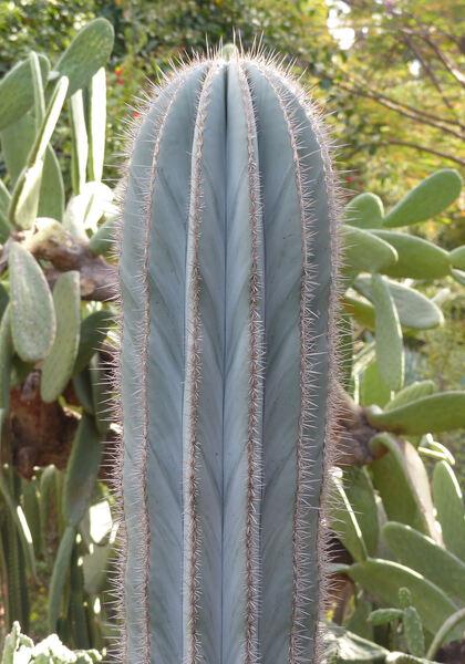 Pachycereus pringlei (S.Watson) Britton & Rose