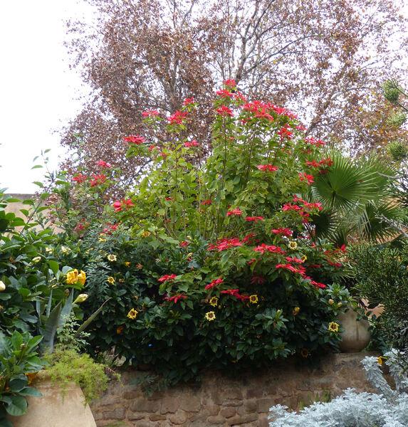 Euphorbia pulcherrima Willd. ex Klotzsch