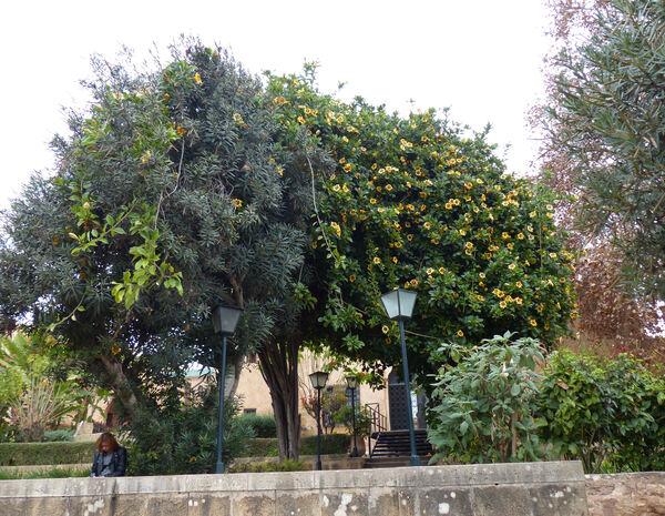 Solandra maxima (Sessé & Moc.) P.S.Green