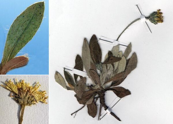 Pilosella leucopsilon (Arv.-Touv.) Gottschl.