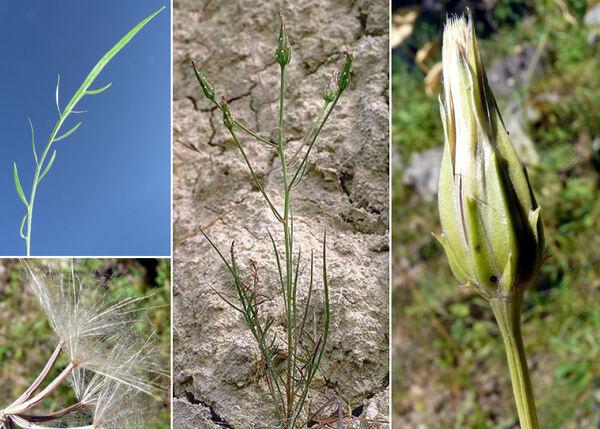 Podospermum laciniatum (L.) DC. subsp. laciniatum