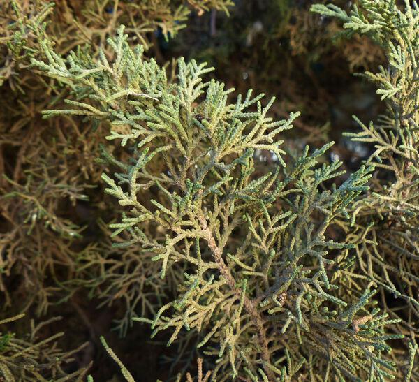Cupressus atlantica Gaussen