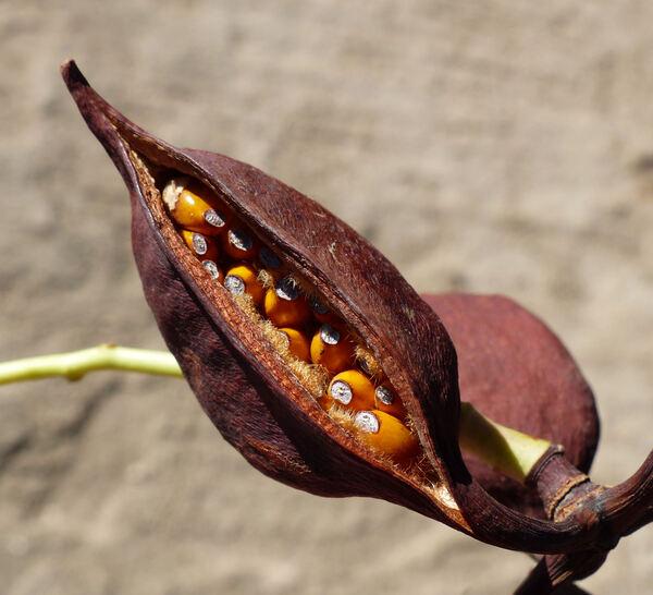 Brachychiton populneus (Schott & Endl.) R.Br.