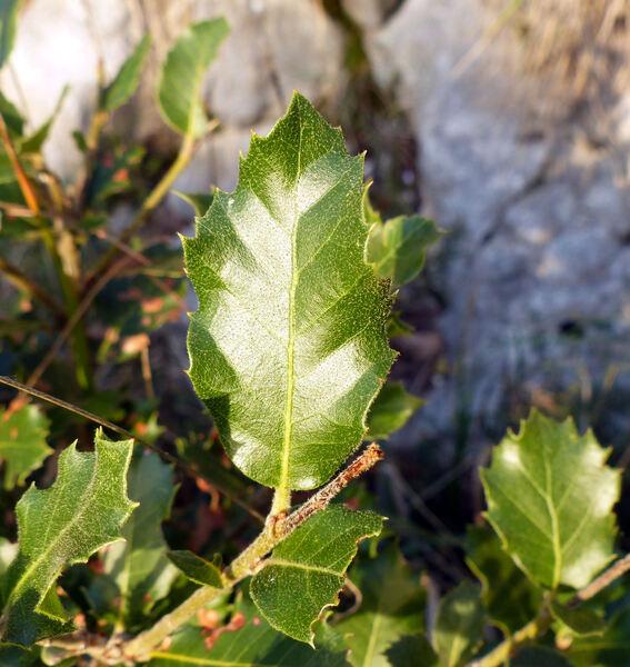 Quercus ilex L. subsp. ilex