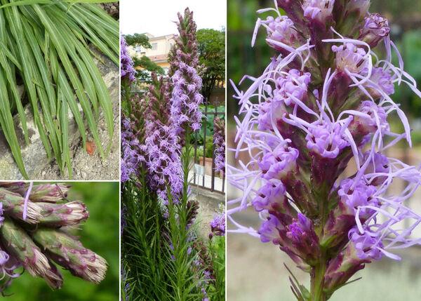 Liatris spicata (L.) Willd.