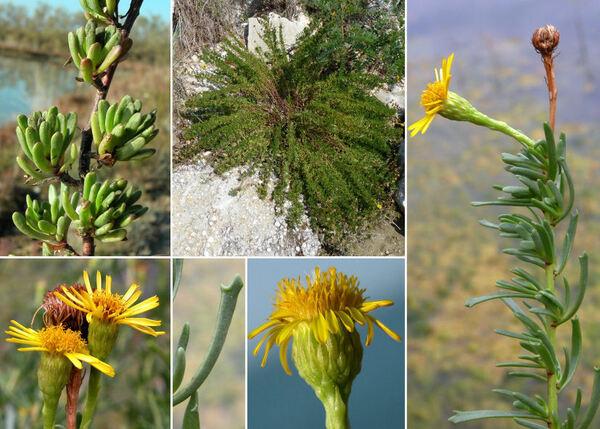 Limbarda crithmoides (L.) Dumort. subsp. longifolia (Arcang.) Greuter