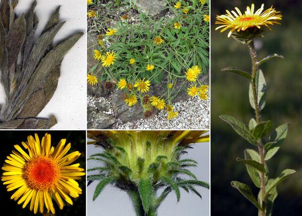 Pentanema montanum (L.) D.Gut.Larr., Santos-Vicente, Anderb., E.Rico & M.M.Mart.Ort.