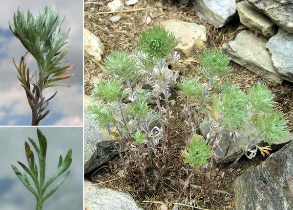 Artemisia schmidtiana Maxim. 'Nana'