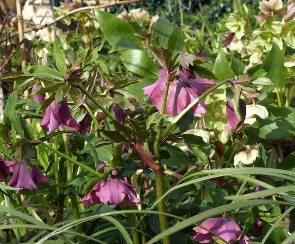 Helleborus orientalis Lam.
