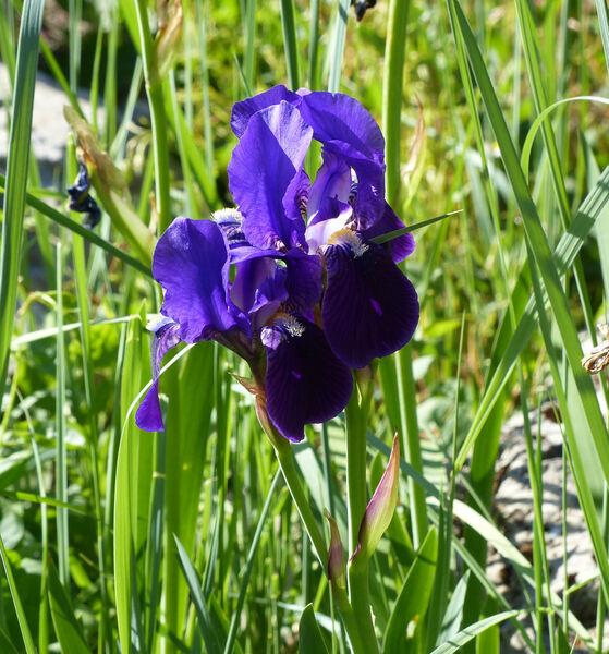 Iris relicta Colas.