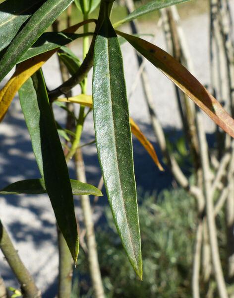 Asclepias fruticosa L.