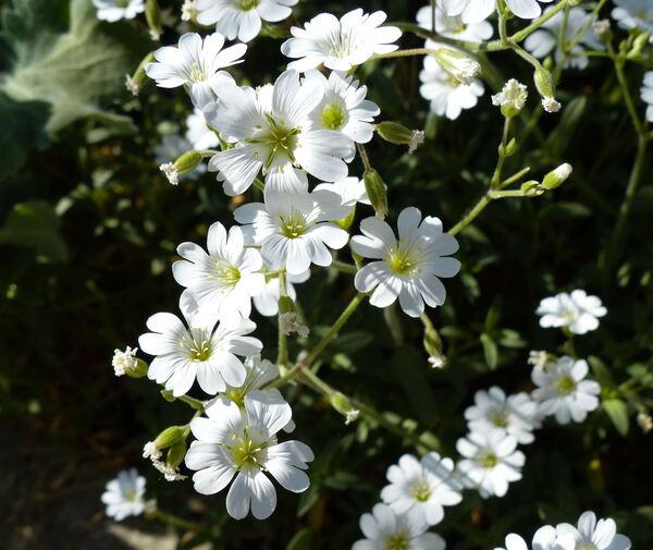 Cerastium arvense L. subsp. arvense