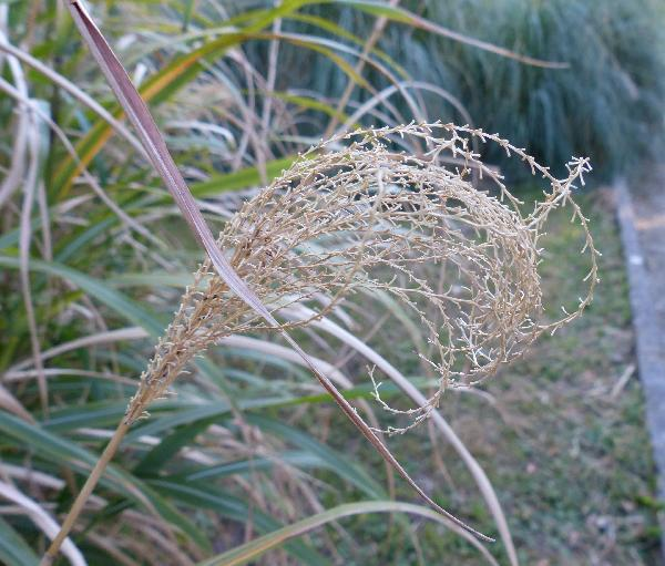 Miscanthus sinensis Andersson