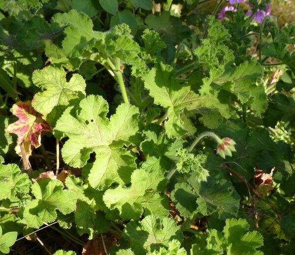 Pelargonium 'Clorinda'