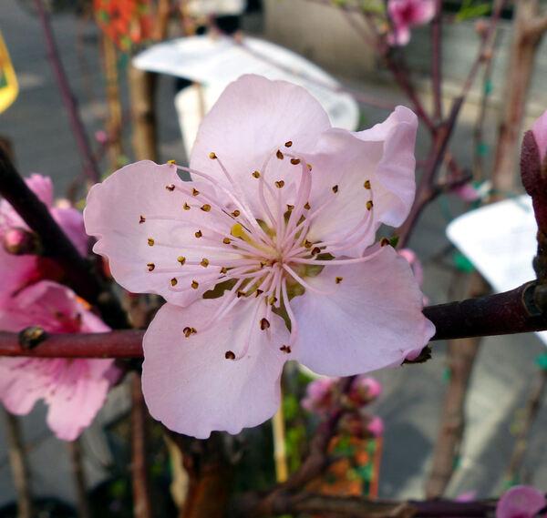 Prunus persica (L.) Batsch 'Cardinal'