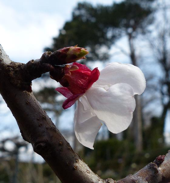 Prunus armeniaca L. 'Cafona'