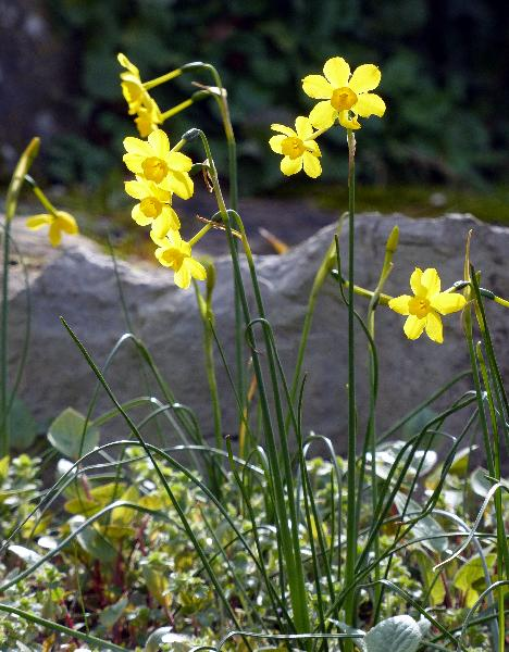 Narcissus jonquilla L. var. henriquesii Samp.
