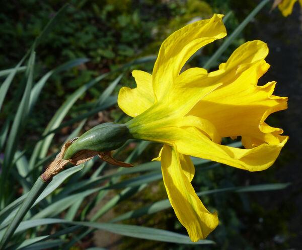 Narcissus pseudonarcissus L. subsp. major (Curtis) Baker