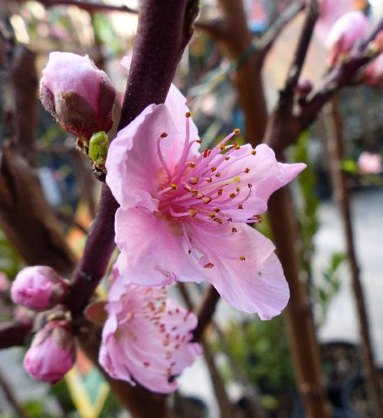 Prunus persica (L.) Batsch 'Iris rosso'
