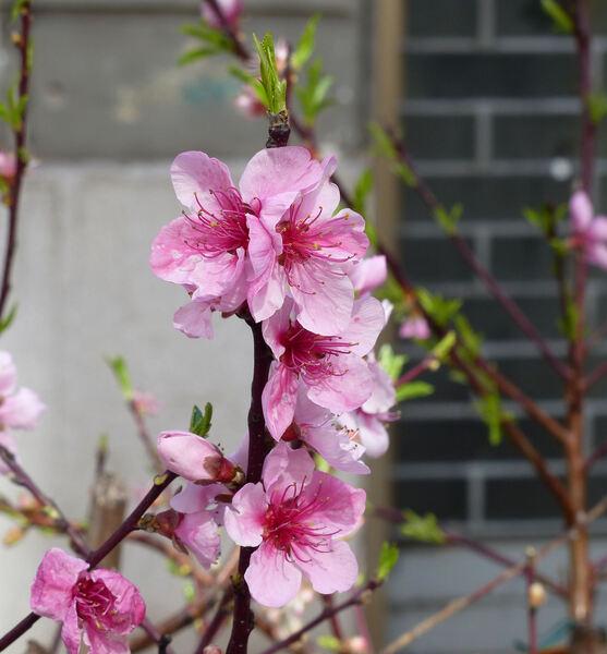 Prunus persica (L.) Batsch 'Redhaven'
