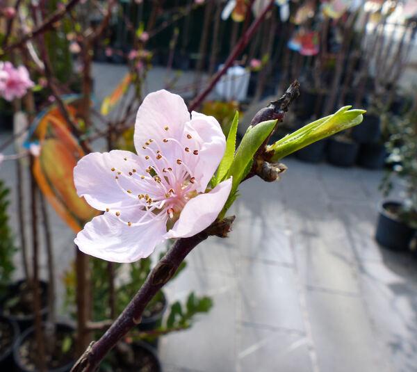 Prunus persica (L.) Batsch 'Flavor Crest'