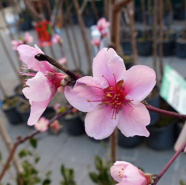 Prunus persica (L.) Batsch var. nucipersica (Borkh.) C.K.Schneid. 'Maria Aurelia'