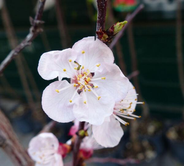 Prunus armeniaca L. 'Precoce Cremonini'