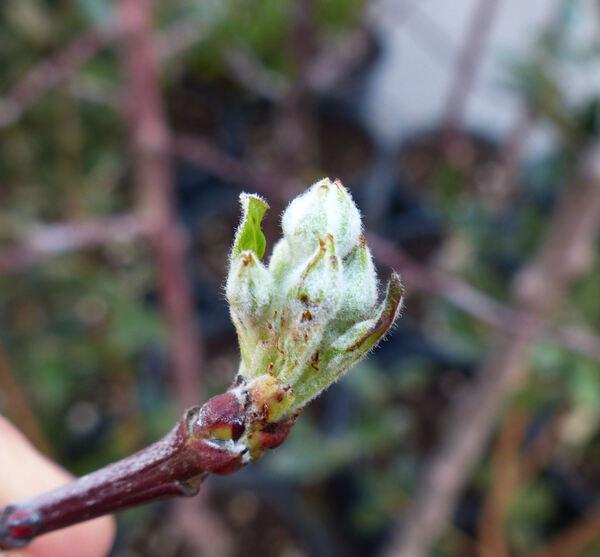 Malus domestica (Borkh.) Borkh. 'Starking'