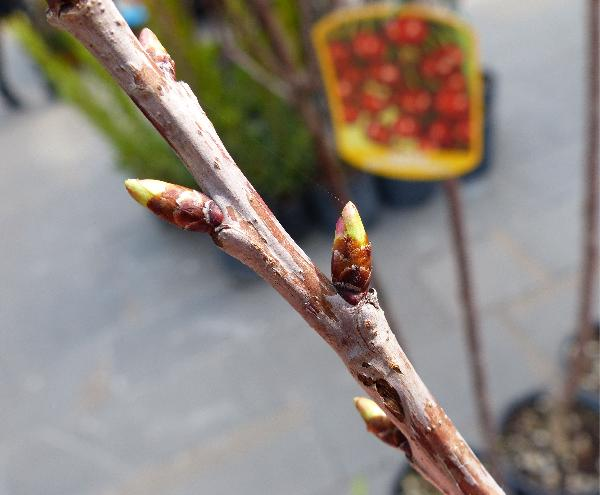 Prunus avium (L.) L. 'Grossa di Pistoia'
