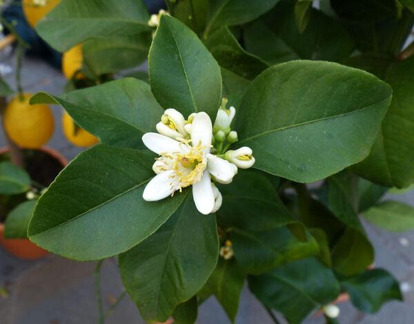 Citrus x limon (L.) Osbeck 'Zagara Bianca'