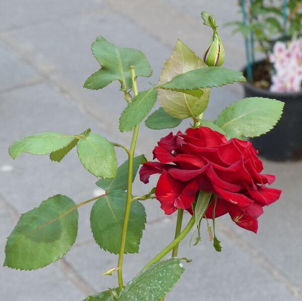 Rosa 'Magie Noire ®'