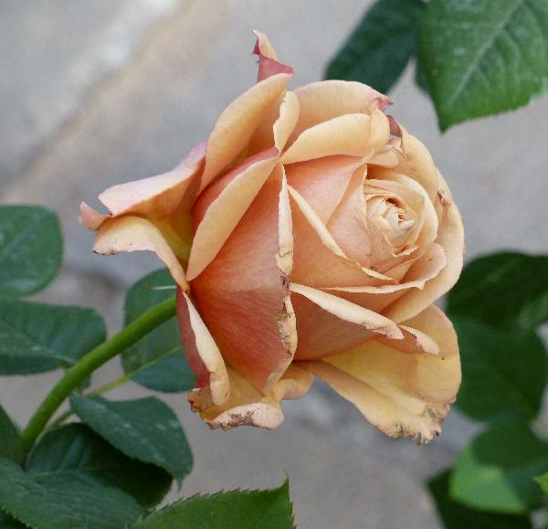 Rosa 'Mokarosa ®'