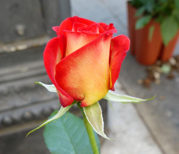 Rosa 'Leo Ferré ®'